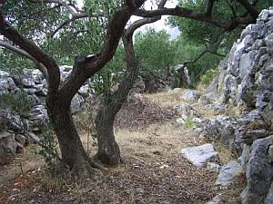 Olives-in-Croatia-orchard13